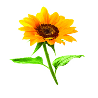 Suncare Ingredient Image: Helianthus Annuus (Sunflower) Seed Oil