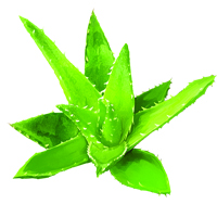 Suncare Ingredient Image: Organic Aloe (Vera) Barbadensis Leaf Juice Extract
