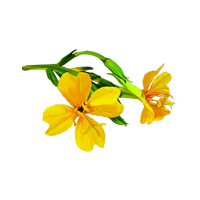 Suncare Ingredient Image: Organic Oenothera Biennis (Evening Primrose) Oil